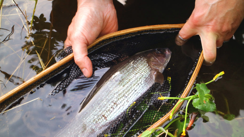 arctic grayling fly fishing